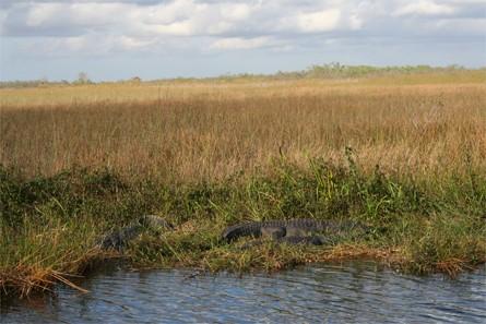 Alligators aux Everglades